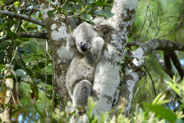 PVOSC-new-south-wales-port-macquarie-koala-hospital