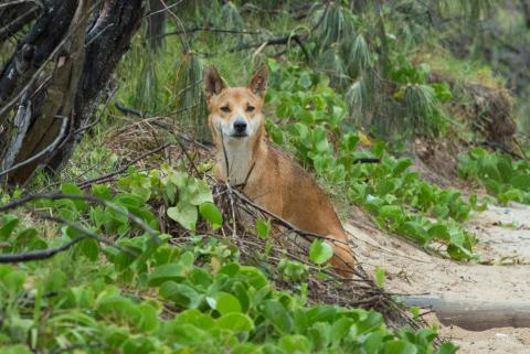 Dingo at Indian Head Frasers Island